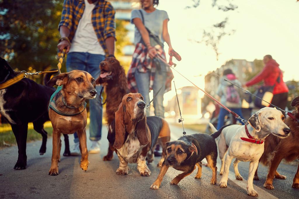 Homem e mulher levando diversos cachorros de raças e tamanhos diferentes para passear